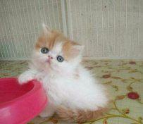 减肥猫粮哪种好 猫咪减肥要注