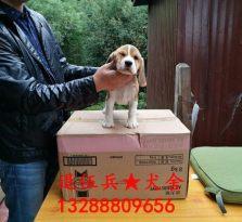 比格幼犬出售
