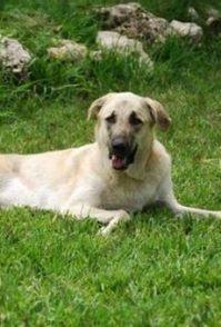 哈士奇幼犬怎么养 两个月左右的哈士奇怎么养