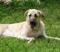 哈士奇幼犬怎么养 两个月左右
