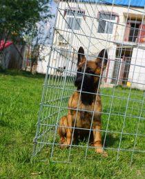 中型犬马犬出售  好训练的犬马犬价格便宜 纯种健康