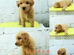 纯种金毛幼犬出售