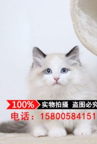 出售波斯猫、加菲红虎斑、布偶海豹蓝双、折耳猫、暹罗