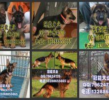 哪里有卖德牧 广东狗狗养殖场基地