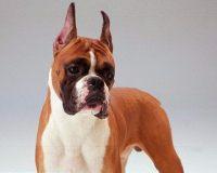 贝灵顿梗犬的美容要点
