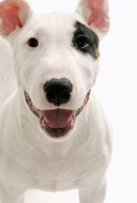 小牛头梗犬幼犬好喂养吗 哪里有卖牛头梗犬幼犬价格图