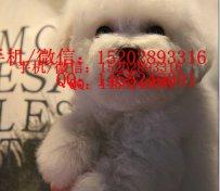 重庆哪里有比熊犬卖 重庆的比