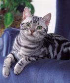 芜湖苏格兰折耳 波斯 梵花 渐层 豹猫 加白 起司包纯种健康