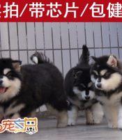 深圳买巨型阿拉斯加犬 深圳正规狗场 哪里有卖巨型阿拉斯加幼犬