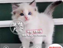 猫舍品种布偶猫