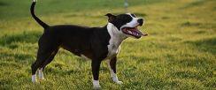 成年斯塔福犬的价格是多少钱 怎样挑选好的斯塔福犬幼