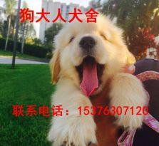 金毛幼犬 金毛价格 金毛价格 常年出售各种宠物犬 价格合适