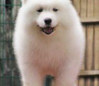 犬舍直销精品萨摩耶幼犬包健康