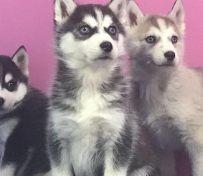 西安狗狗之家长期出售高品质哈