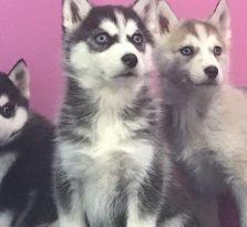 西安狗狗之家长期出售高品质哈士奇 萨摩耶 柯基 斗牛售后无忧