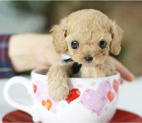 高品质茶杯犬
