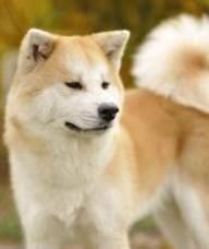 昆明宠物店出售秋田犬