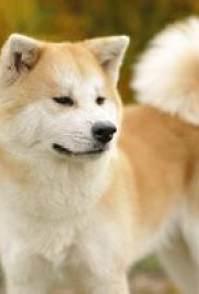 长沙宠物专卖店出售秋田犬