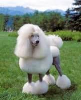 重庆出售贵宾犬