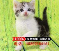美国短毛猫 纯种美短加白起司