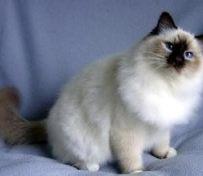 伯曼猫-烟台萌猫