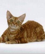 德文卷毛猫