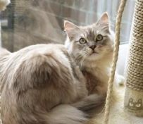 褴褛猫-海口萌猫