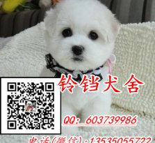 广州哪里有卖比熊犬