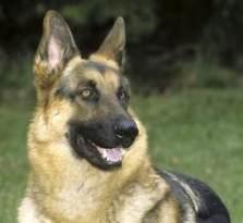 特价出售弓背 黑背纯种赛级 德国牧羊犬 幼犬包健康
