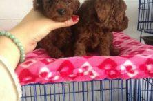 专业犬舍出售超萌卡哇伊韩国矫小体泰迪熊包健康纯种