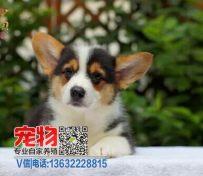 江门市哪里有柯基犬买 在鹤山