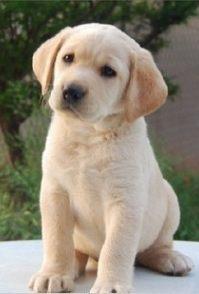 杭州本地出售 800一只打折促销拉布拉多 博美犬比熊 巴哥犬