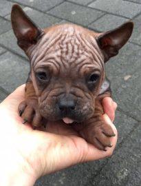 重庆川东猎犬出售