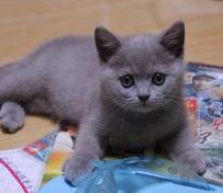 惠州英短蓝猫 渐层 蓝白 美