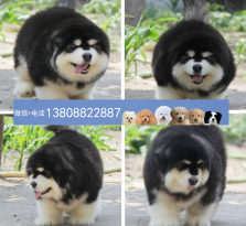 广州阿拉斯加狗场 广州出售阿拉斯加狗雪橇犬 大型犬
