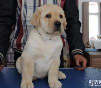 拉布拉多-名欣犬业