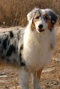 出售苹果头大眼睛吉娃娃幼犬 ,高品质保健康