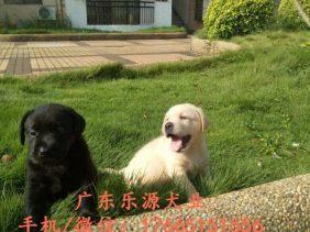 赛级拉布拉多 纯种拉布拉多 拉布拉多幼犬