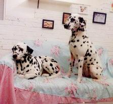 纯种斑点犬品相一流 包健康 全国包邮