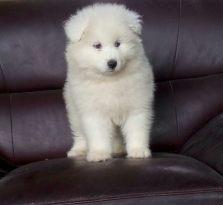 买萨摩耶找谁,找友诚犬业狗狗品相好 健康保证都是做了药苗宝宝