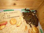 出售宠物松鼠魔王雪地红腹黄山金花睡鼠