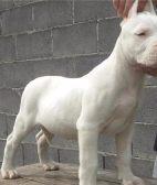 亨达犬业直销 杜高犬 幼犬-包健康-加v信8折优惠