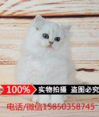 出售金吉拉幼猫长毛猫纯种家养银渐层绿眼宠物猫活体猫