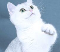 猫舍直销 波斯 布偶 蓝猫
