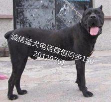 武汉猛犬养殖基地,可上门看狗,把最好的狗狗送到您的手中