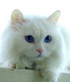 暹罗猫的寿命 介绍一个关于它的传说