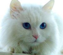 暹罗猫的寿命 介绍一个关于它