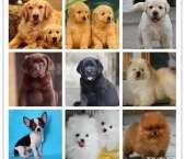 阿布宠物会所优惠出售各种纯种狗