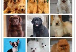 沈阳宠物店出售世界各类名犬
