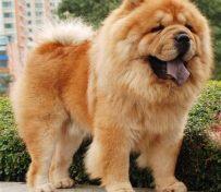 武汉养殖基地直销松狮犬及其它